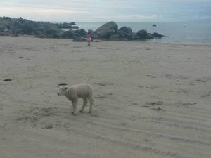 beachlamb