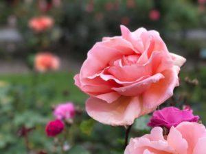 roses07